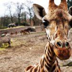 Safari – Erlebnis in Serengeti Park 17.10.20